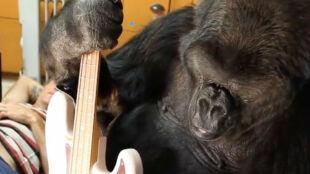 """""""Otwierała umysły i serca milionów ludzi"""". Nie żyje Koko, gorylica celebrytka"""