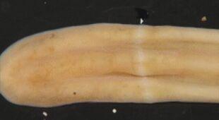 Tajemniczy organizm z rodzaju Xenoturbella